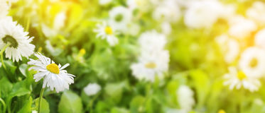 Daisy flowers Closeup of field beautiful white on blurred green Royalty Free Stock Image