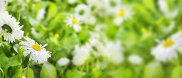 Daisy flowers Closeup of field beautiful white on blurred green Royalty Free Stock Photos