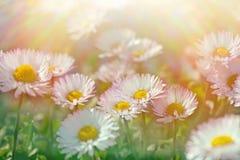 Daisy flowers - closeup (spring daisy) Stock Photos