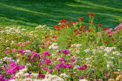 Daisy flowers. The colorful daisy flowers are blooming royalty free stock photography