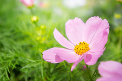 Daisy flowers , cosmos flowers blossom  in morning light Stock Photography