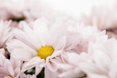 Daisy Flowers Daisies Floral cor-de-rosa foto de stock royalty free