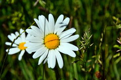 Daisy. Flowers daisies in the meadows, always in the summer, beautiful sunny weather, a picnic with friends or family, green grass, background, white petals Royalty Free Stock Photography