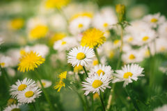 Daisy flowers and dandelions Stock Photography