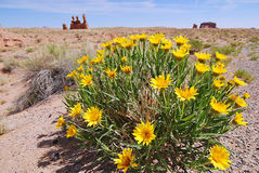 Daisy flowers in desert Stock Photos
