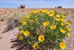 Daisy flowers in desert stock photos