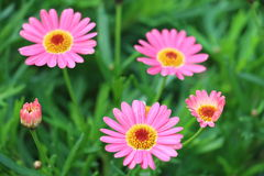 Daisy flowers display blooming and budding Royalty Free Stock Photography
