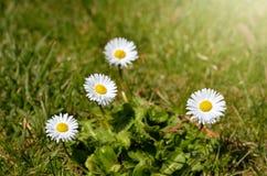Daisy Flowers durante a mola fotos de stock
