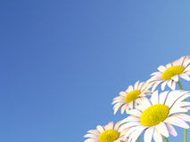 Daisy Flowers e un cielo blu Fotografia Stock