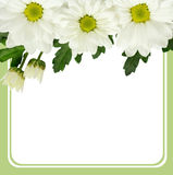 Daisy flowers edge and frame Royalty Free Stock Images