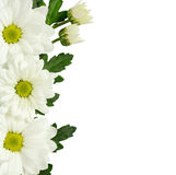 Daisy flowers edge on white Stock Image