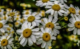 Daisy Flowers in einer Feld Bedfordshire-Makrolinse Stockfotos