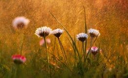 Daisy Flowers en lluvia macra Fotografía de archivo