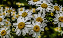 Daisy Flowers en una lente de la macro de Bedfordshire del campo Fotos de archivo