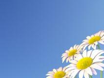 Daisy Flowers et un ciel bleu Photographie stock