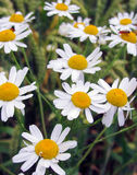 Daisy Flowers In Field. Gorgeous daisy flowers in countryside field. Beautiful blooming wildflowers in summertime. Photo taken in Ontario, Canada Stock Photo