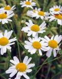 Daisy Flowers In Field Stock Photo