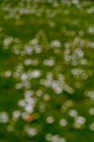 Daisy flowers in field abstract background Royalty Free Stock Image