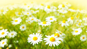 Flowers field. Field of daisy flowers, selective focus