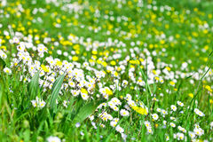 Daisy flowers field Stock Image
