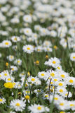 Daisy flowers field Stock Images