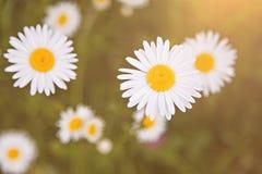 Daisy flowers Stock Photography