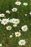 Daisy flowers field Royalty Free Stock Photos
