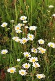 Daisy flowers field Royalty Free Stock Photography