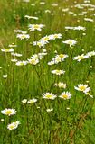 Daisy flowers field Stock Photos