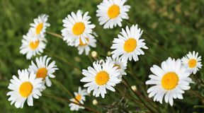 Daisy flowers field Stock Photo
