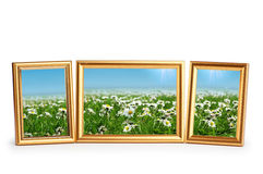 Daisy flowers in the  frames on white Royalty Free Stock Images