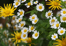 Daisy flowers in garden Stock Images