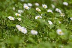 Daisy flowers in the garden. Oxeye daisy in the garden Stock Photo