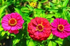 Daisy flowers gerbera Stock Image