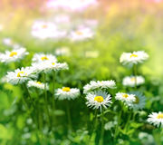 Daisy flowers in grass Royalty Free Stock Images