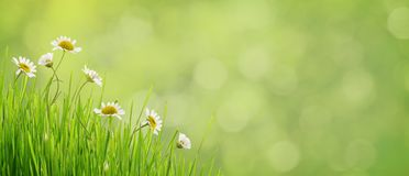 Daisy flowers and grass on green bokeh. Daisy flowers and grass in corner arrangement on green blurred background Stock Photography