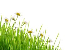 Daisy flowers and grass in corner arrangement. On white background Royalty Free Stock Image