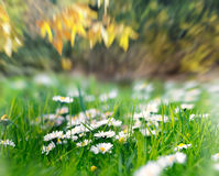 Daisy flowers in grass in park Royalty Free Stock Photo