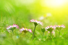 Daisy flowers in grass. Royalty Free Stock Images
