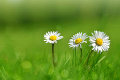 Daisy flowers in grass. Royalty Free Stock Image