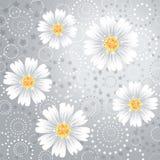 Daisy flowers on gray background. Stock Photos