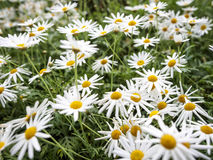 Daisy flowers on green field Royalty Free Stock Photography