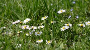 Daisy flowers in green grass Royalty Free Stock Photos