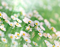 Daisy flowers in green grass Royalty Free Stock Photography