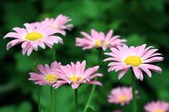 Daisy flowers Royalty Free Stock Image