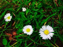 Daisy flowers with Green and young leaf in the park Stock Images