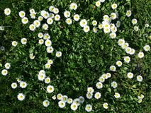 Daisy flowers heart shape on grass Stock Images
