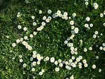 Daisy flowers heart shape on grass Stock Photos
