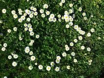 Daisy flowers heart shape on grass. Daisy flower yellow and white heart shape on grass Stock Images