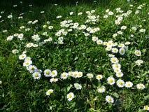 Daisy flowers heart shape on grass. Daisy flower yellow and white heart shape on grass Stock Photography